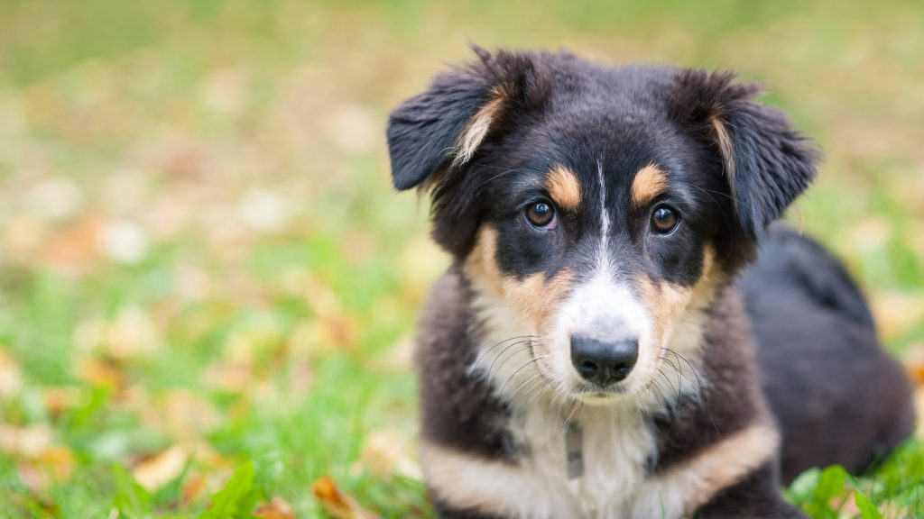 australian shepherd needing companion