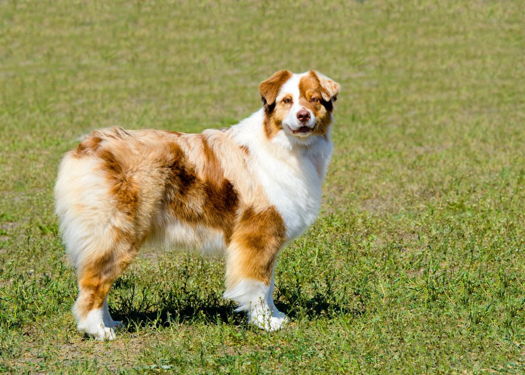 why don't australian shepherds have tails