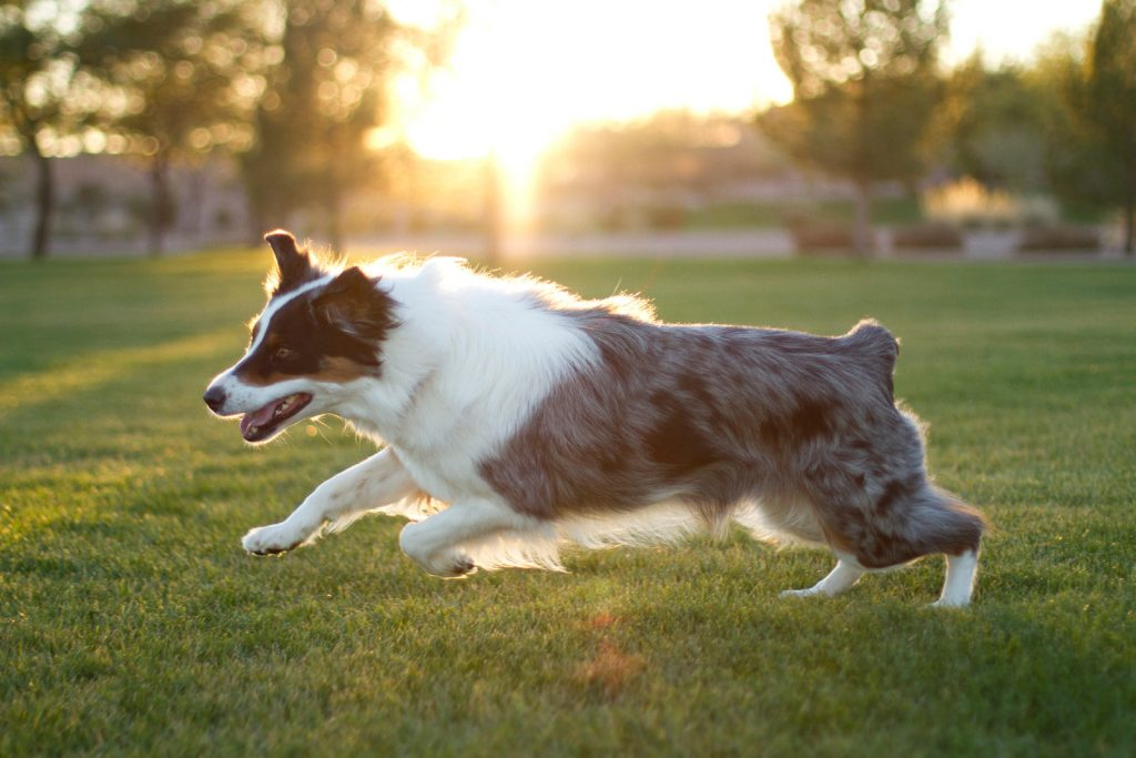 running with australian shepherd