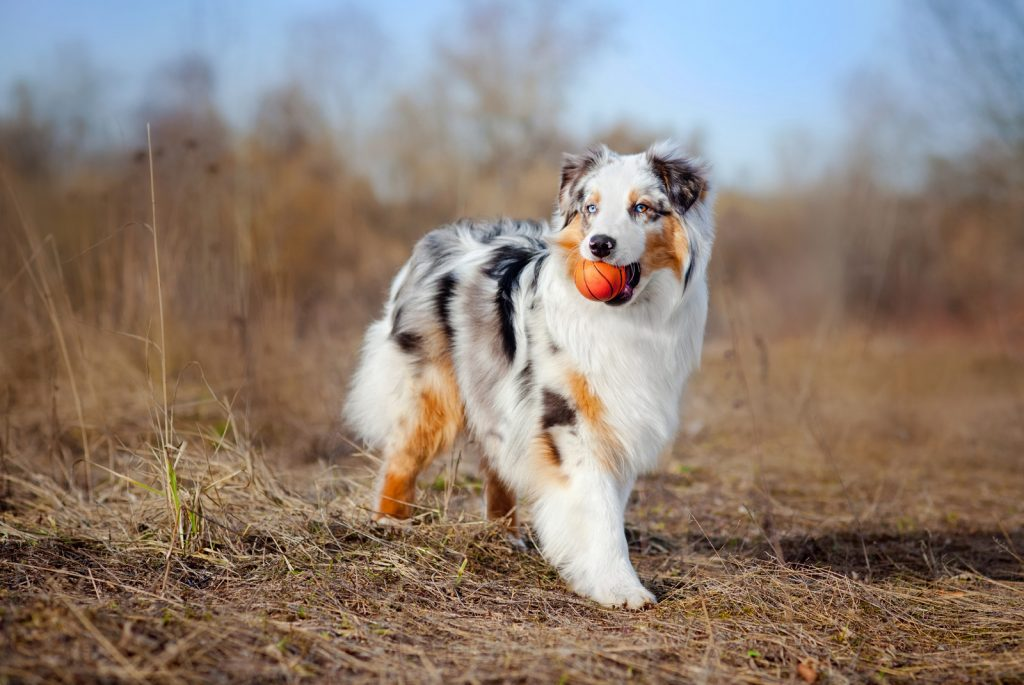 how much exercise for australian shepherd